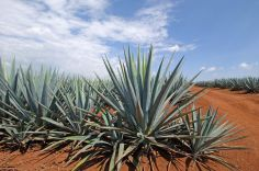blue-agave-field_3236_r2