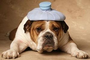 dog-hangover